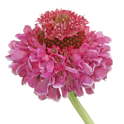 Scabiosa Focal Scoop™ Bicolor Pink